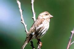 Purple Finch Female