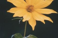 CD-WildSunflower